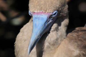 Rotfußtölpel auf Galapagos