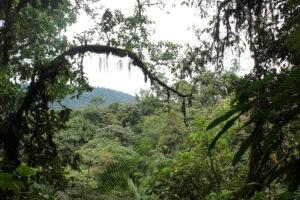 Bäume im Nebelwald von Mindo