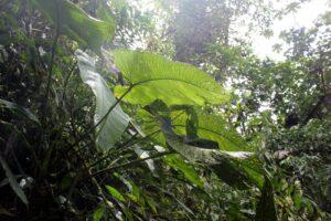 Imposante Blätter im Nebelwald von Mindo