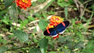 Schmetterling im Nebelwald von Mindo