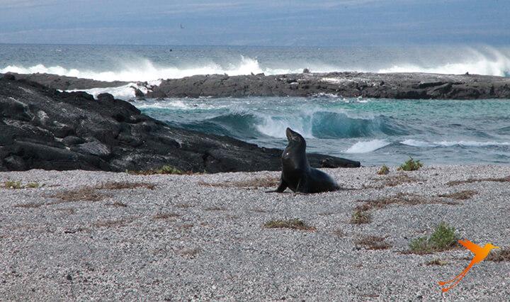 Seelöwe auf den Galapagos-Inseln