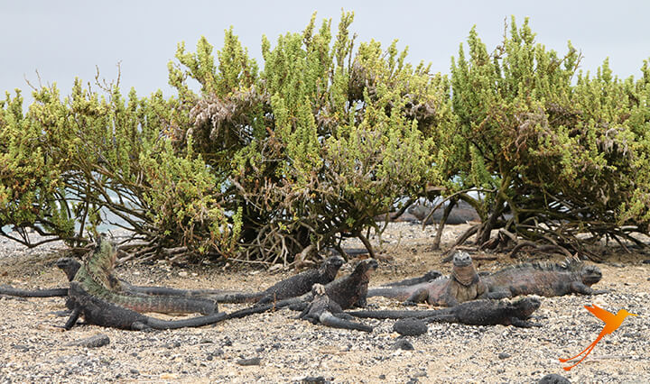Leguane auf der Galapagos-Insel Tintoreras