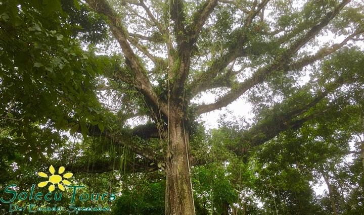 Baum mit Lianen im Regenwald bei Tena, Ecuador