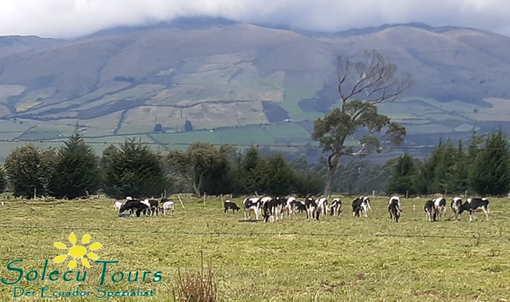 Friesenkühe auf dem Ausflug von Quito nach Patate