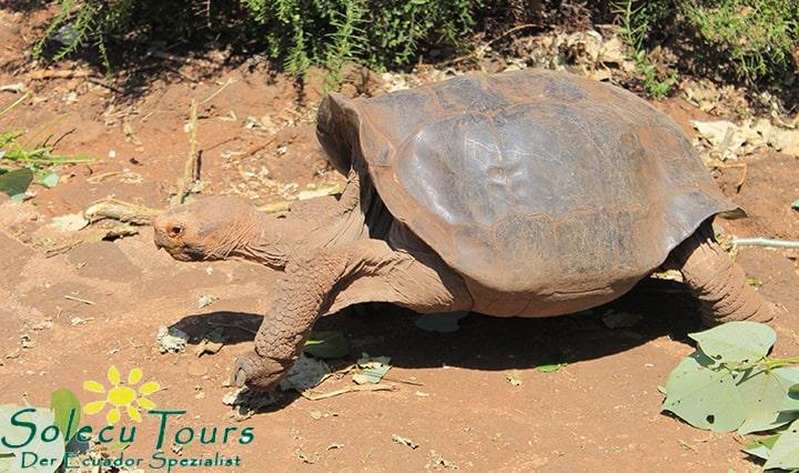 Schildkröte im Charles Darwin Forschungszentrum