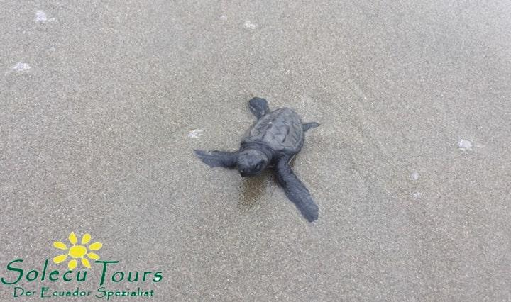 Babyschildkröte am Strand von Las Tunas und Puerto Rico