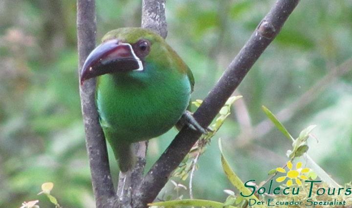 Vogel im Nebelwald von Ecuador