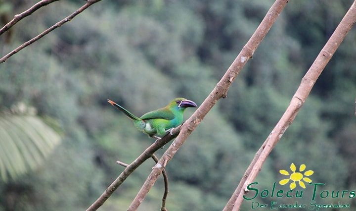 Vogelbeobachtung im ecuadorianischen Nebelwald