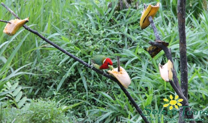 Vögel im Nebelwald von Ecuador