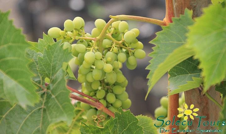 Trauben aus der Weinproduktion in Patate, Ecuador