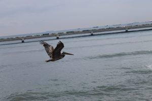 Pelikan im Casco Viejo