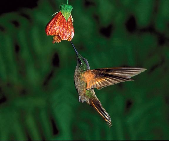 In Ecuador leben 135 Kolibriarten