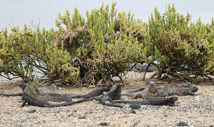 Tintoreras auf Galapagos