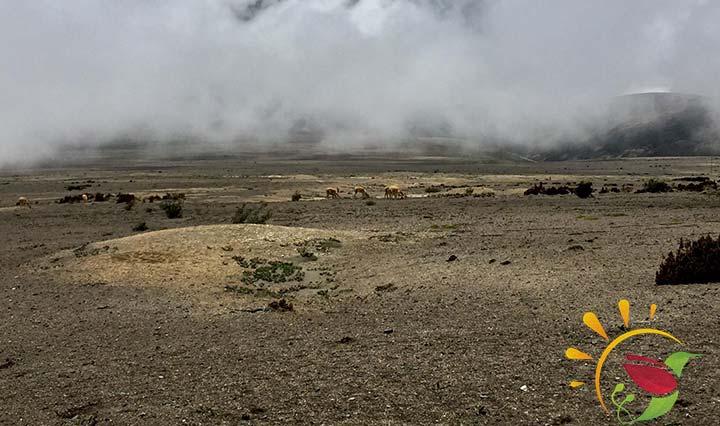 Vicuñaherde auf Ecuadors höchstem Vulkan