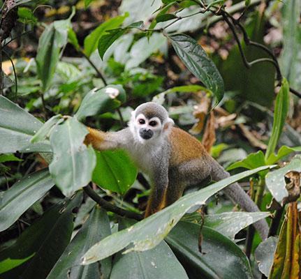 Äffchen im Regenwald