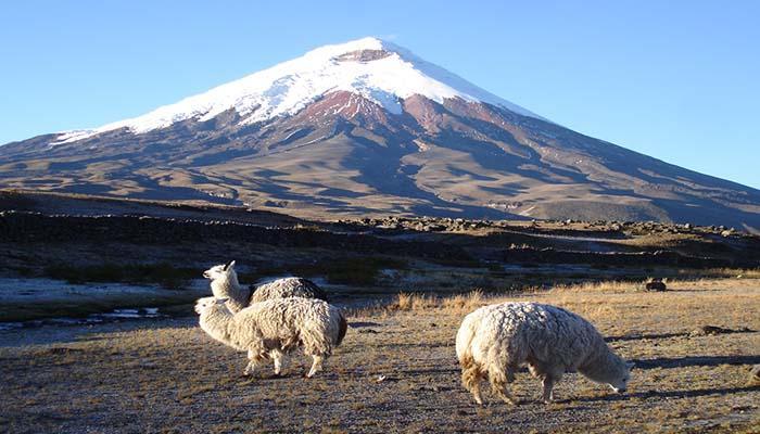 Lamas vor dem Vulkan Cotopaxi