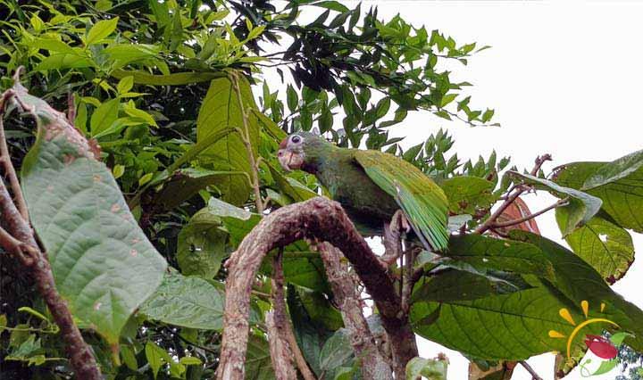 Papagai im Regenwald bei Puyo