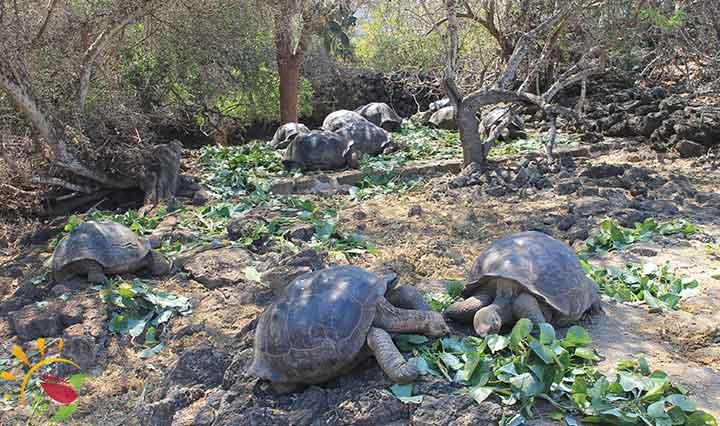 Schildkröten im Charles Darwin Forschungszentrum auf Galapagos