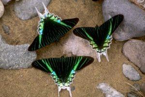 Schmetterlinge, Peru