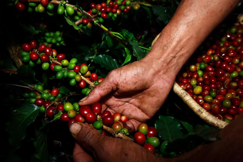 Highlights: Kaffeekirschen vor der Ernte, Kolumbien