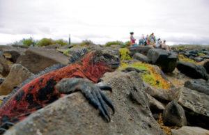 Leguan auf den Galápagos-Inseln, Ecuador