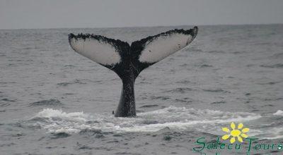 Whale Watching Ecuador: Flusse eines Buckelwals