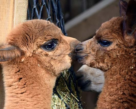 Kuss zweier Alpaca Babys