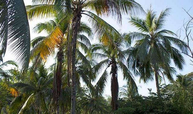 palmen-tayronaka-kolumbien