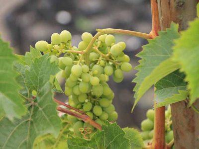 Trauben aus Weinanbaugebiet bei Patate, Ecuador
